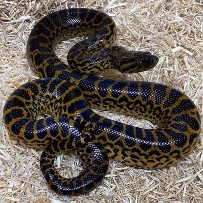 Picture of Yellow Anaconda